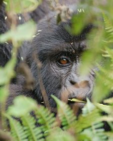 Gorilla Tracking in Bwindi Impenetrable Forest