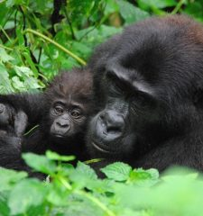 Uganda Gorilla Tracking Bwindi Impenetrable Forest
