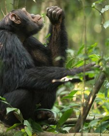 kibale forest National Park - Chimp Tracking in Uganda