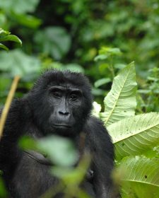 Gorilla Trekking in Volcanoes National Park Rwanda Safari